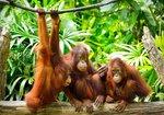 Jungle vlies fotobehang Aapjes