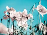 Witte klaprozen fotobehang XL
