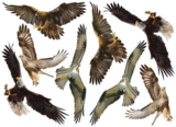 Roofvogels muurstickers set B_