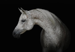Wit paard fotobehang Schimmel