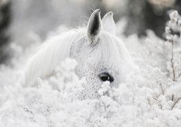 Wit Paard fotobehang Shy