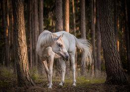 Wit paard in bos fotobehang