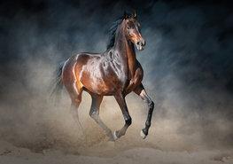 Paarden fotobehang Arabier