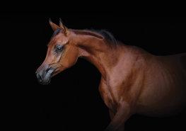 Bruin paard fotobehang Arabier