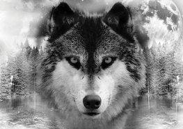Wolf fotobehang zwart-wit