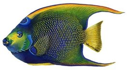 Muursticker Vis - Queen Angelfish - WoW
