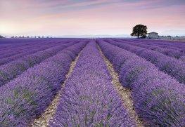 Fotobehang Provence - Lavendel