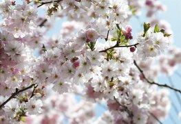 Fotobehang Spring - Kersenbloesem