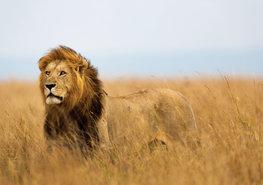 Jungle fotobehang Leeuw