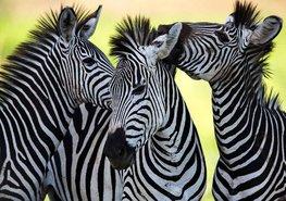 Zebra fotobehang