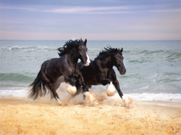 Paarden fotobehang Shire