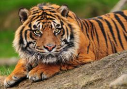 Jungle fotobehang Sumatraanse tijger