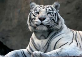 Jungle fotobehang Witte tijger