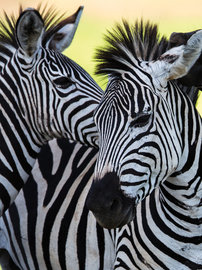 Zebra fotobehang L1