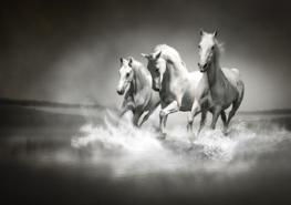 Paarden fotobehang zwart/wit Vlies XL