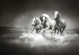 Paarden fotobehang zwart/wit XXXL