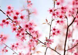 Sakura fotobehang Kersenbloesem