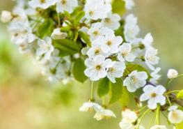 Witte kersenbloesem fotobehang