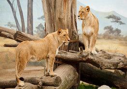 Jungle fotobehang Leeuwinnen