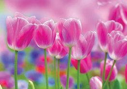 Roze tulpen fotobehang