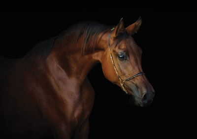 Paarden fotobehang Arabisch volbloed