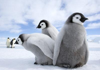 Fotobehang Pinguin Trio