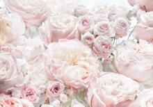 Rozen fotobehang Spring Roses